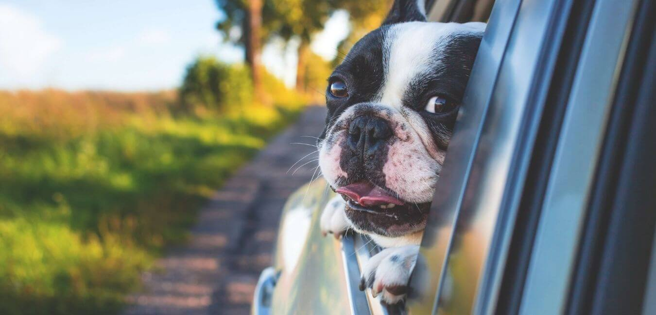 bull dog looking out of car window